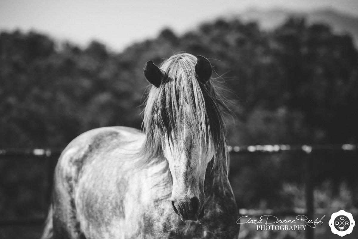 a spanish stallion at liberty