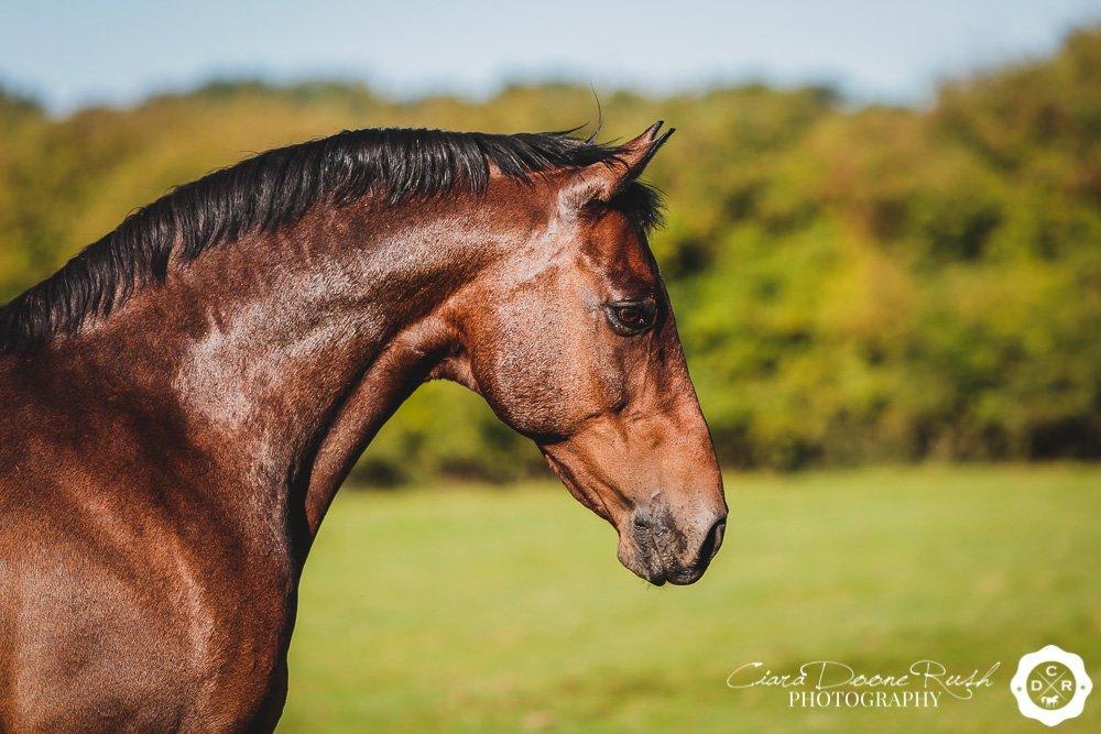 a bay horses head