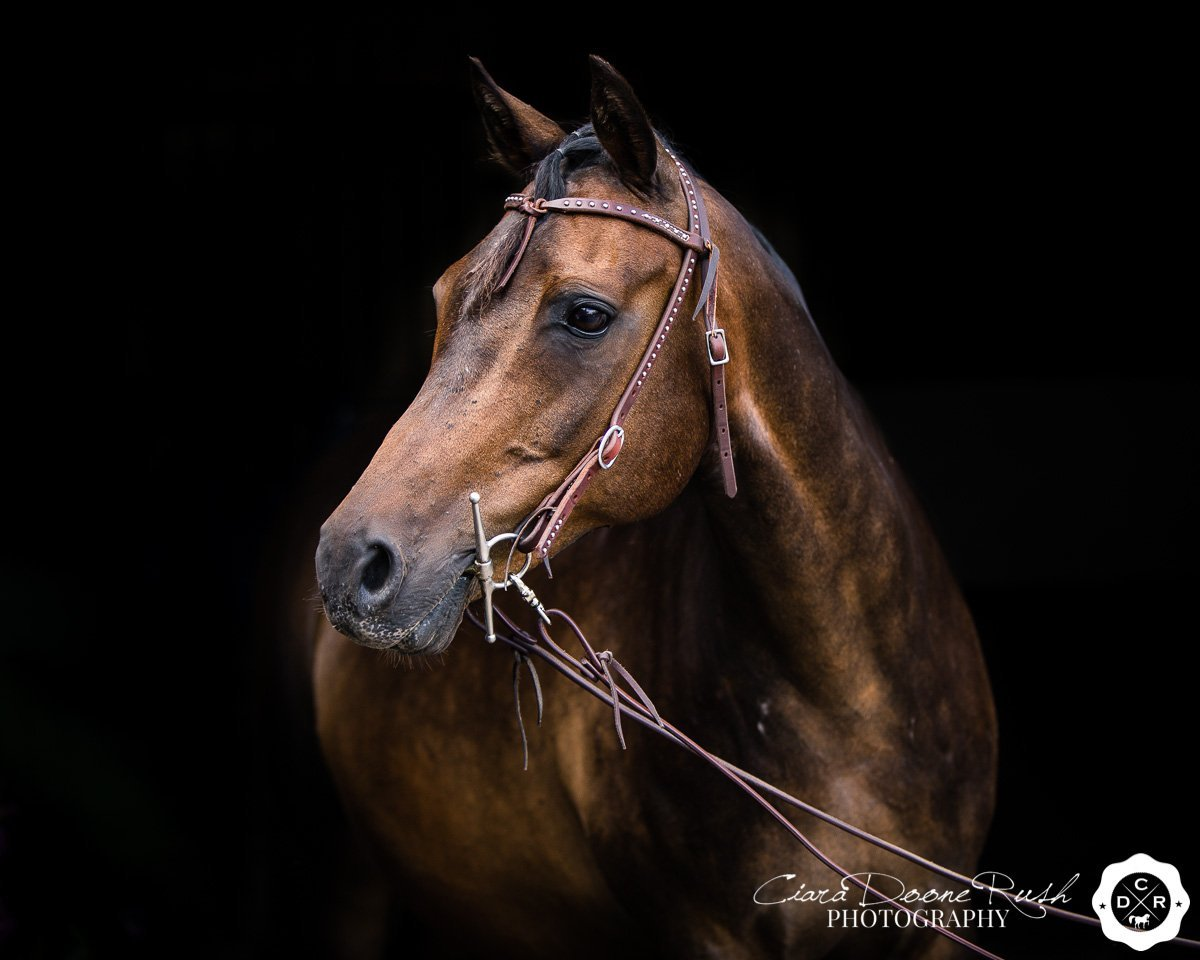 portrait of a horse on a black background