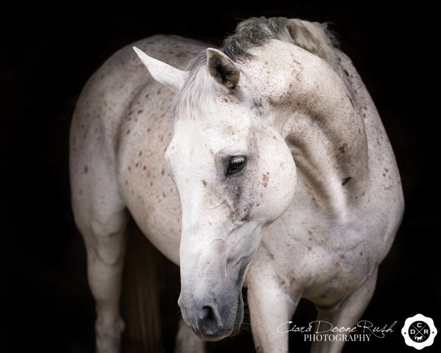 a portrait of a grey horse