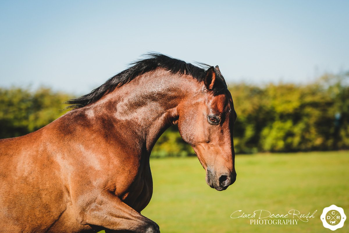 a horse cantering around a field on a photo shoot