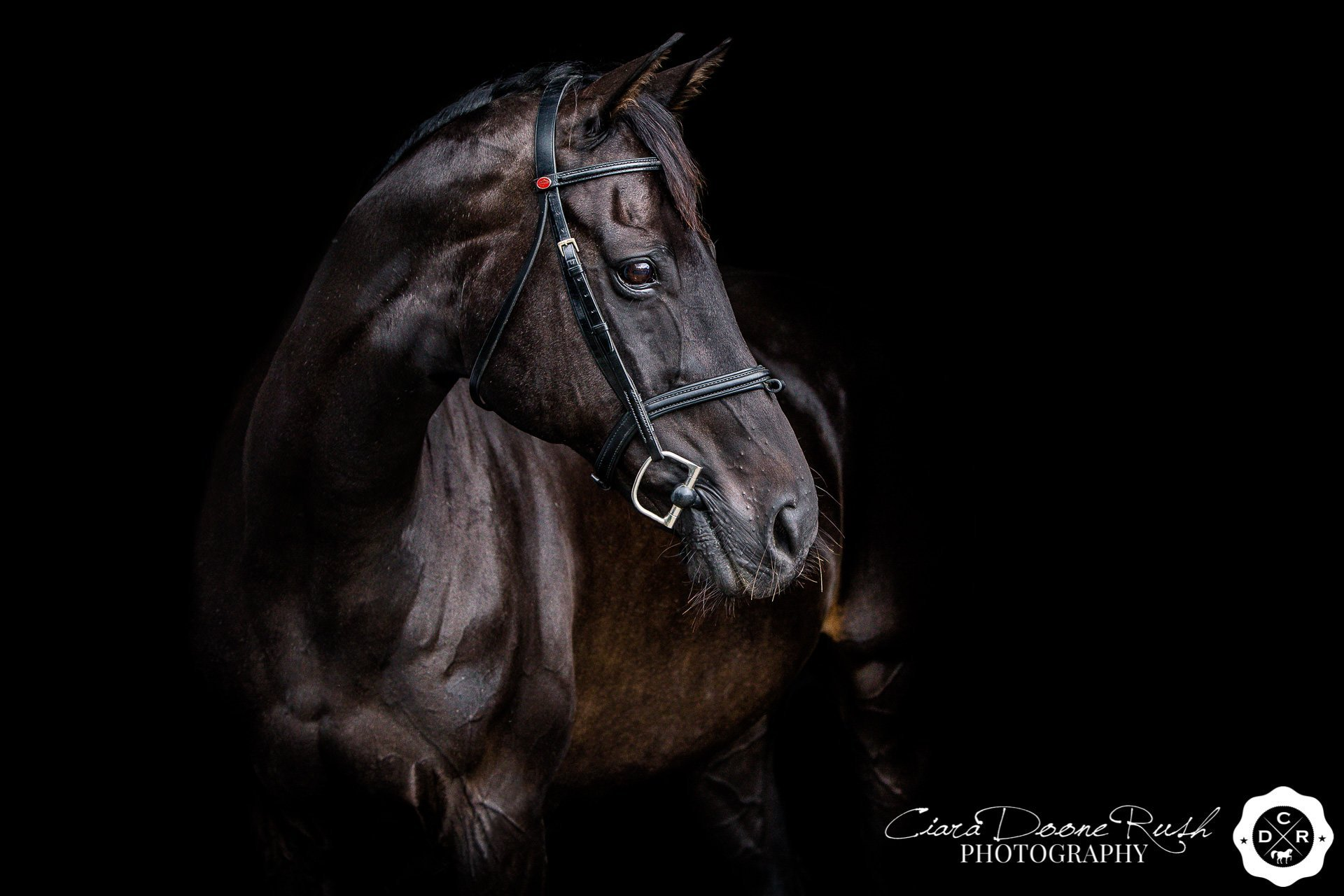 A black horse against a black background on a horse at liberty photo shoot