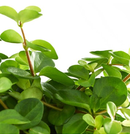 himalayamix-potted-plant__0443724_PE594481_S4
