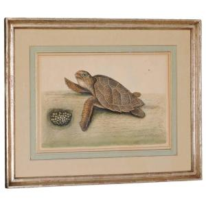 Rare 18th Century Engraving - Hawksbill Turtle - Mark Catesby