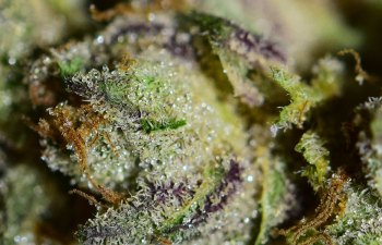 Tiger's Milk: A Hybrid Strain with Exceptionally Relaxing Benefits 1