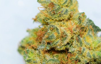 CHOCOLOPE: A Delicious and Stimulating Strain, Not a Sesame Street Character 2