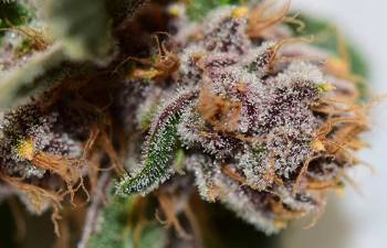 TRICHOME TUESDAY: Purple Urkle 13