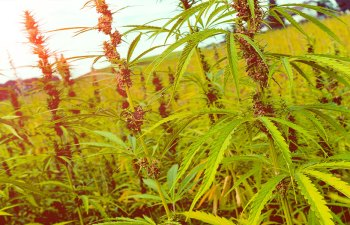 Hemp: Revolutionary Hemp