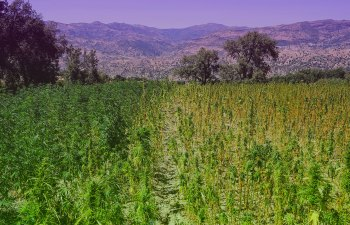 Morocco's Evolving Cannabis Industry