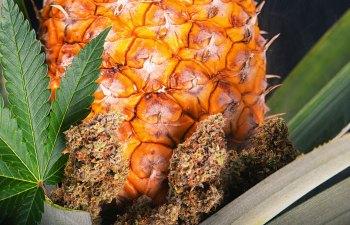 fresh bud cannabis reform