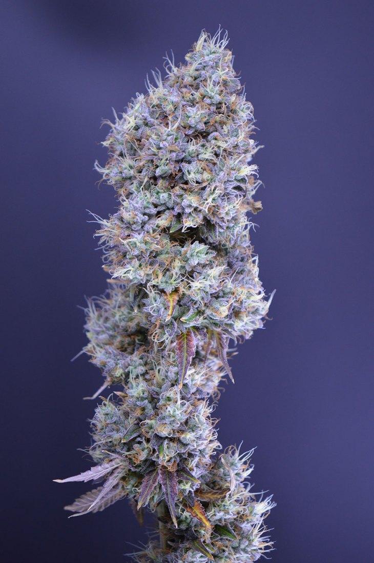 Shift Cannabis - San Juan Mountains, CO