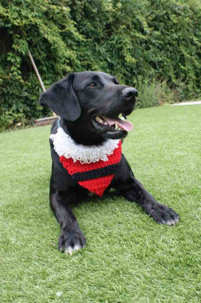 Black dog wearing a crochet Santa bandanna lying on grass at the ready