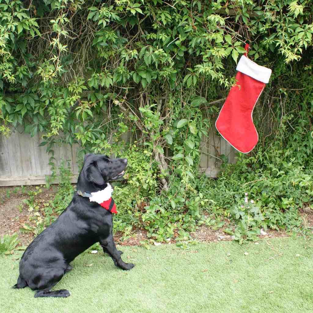 Black dog in crochet Santa bandanna staring at christmas stocking hung on greenery