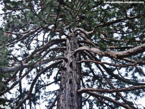 Rar, frumos, gigant! (Sequoia Gigantea)