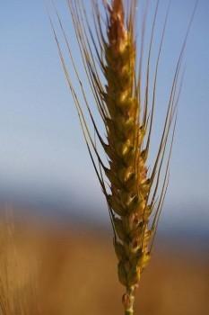 Der Laufener Landweizen besitzt wie der Urweizen noch lange Grannen. (Foto: ANL)