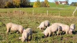 Sperlbauer Schweine