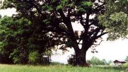Bürmoos Zehmemoos Mooreiche 1990