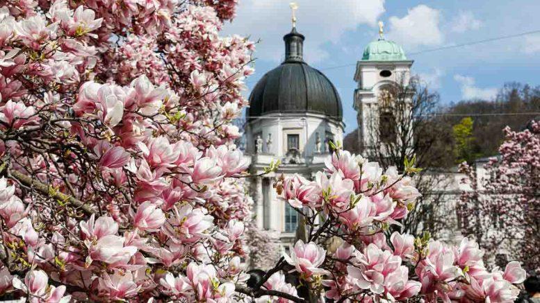 Blühende Magnolien am Markartplatz in Salzburg