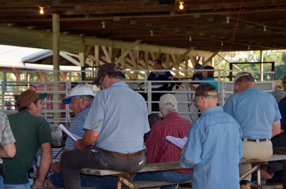Heifer Auction (10)