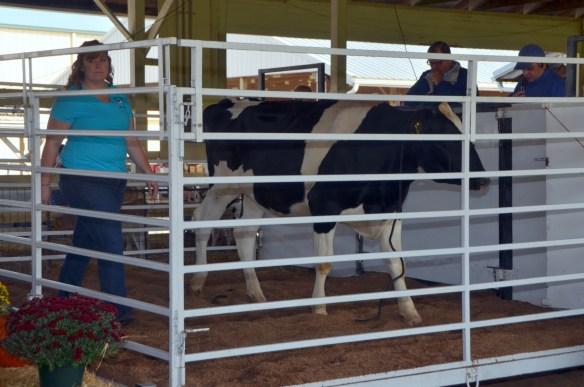 Heifer Auction (5)