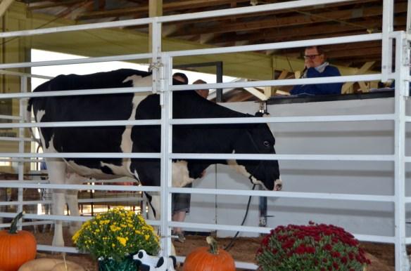 Heifer Auction (7)