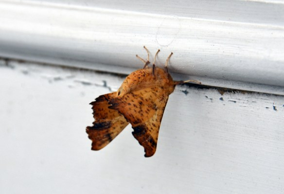 10-16-14 Spotted moth (1)