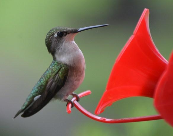 Hummingbirds (10)
