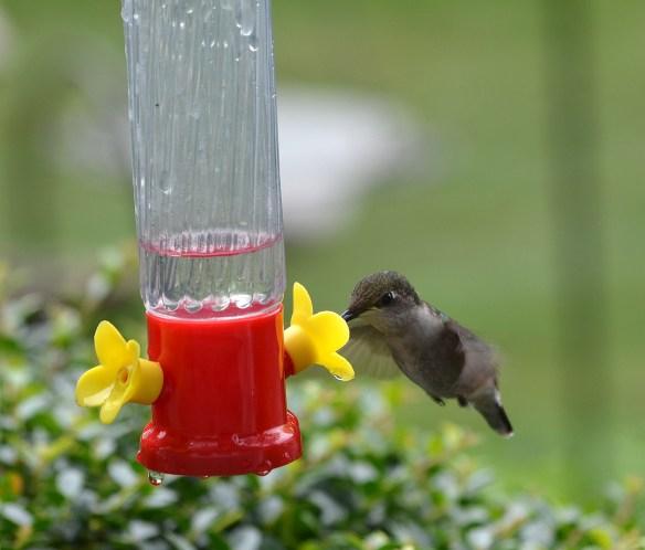 Hummingbirds (4)