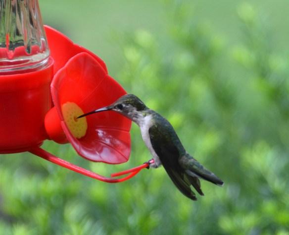 Hummingbirds (6)