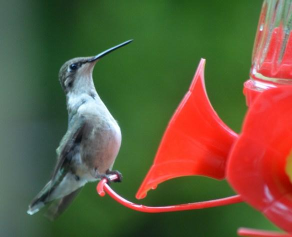 Hummingbirds (8)