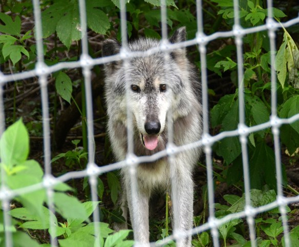 Wolves (34)