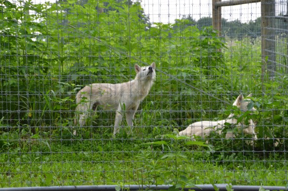 Wolves (37)