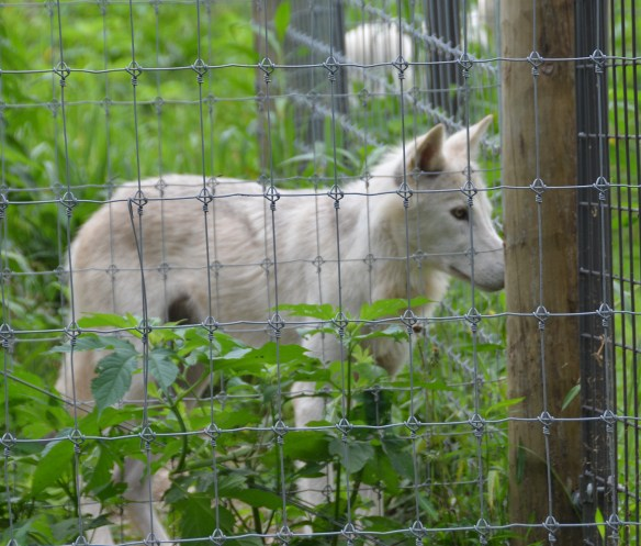 Wolves (39)