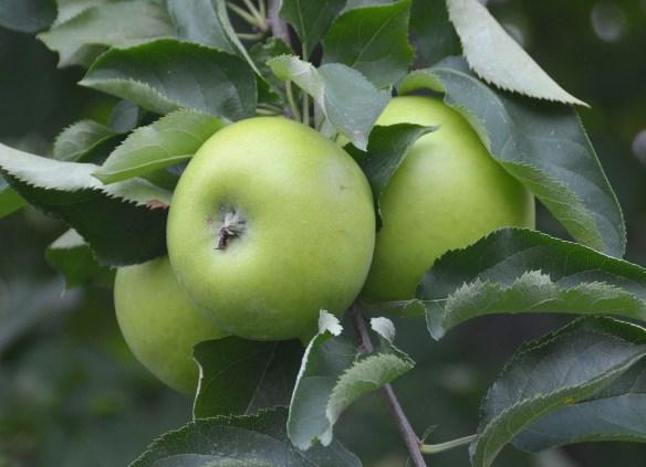 Sam's Orchard (11)