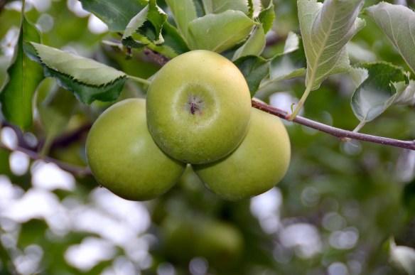 Sam's Orchard (9)