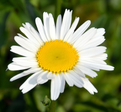 Visiting Mother and Daisies (7)