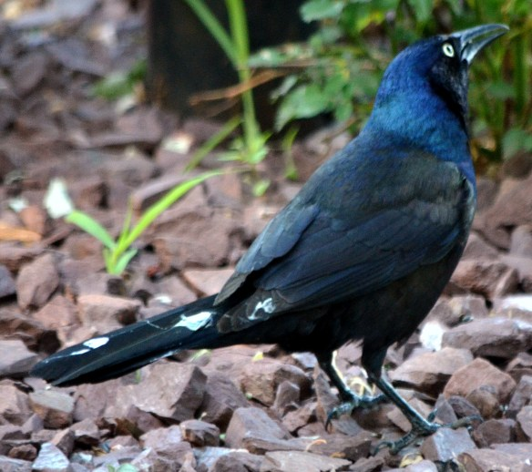 Common Grackle - Male (1)