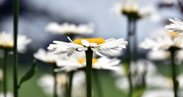 Daisies and a Wren (3)