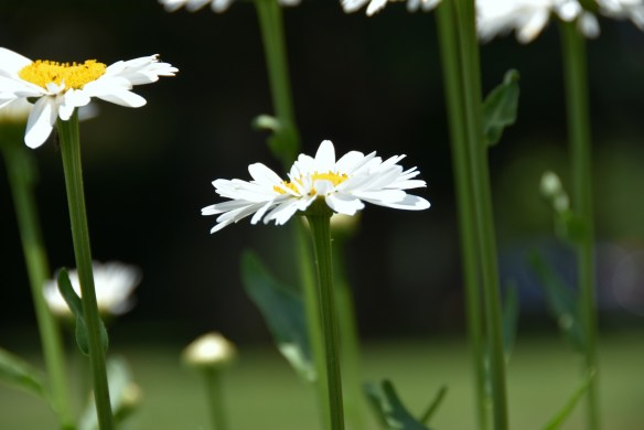 Daisies and a Wren (4)