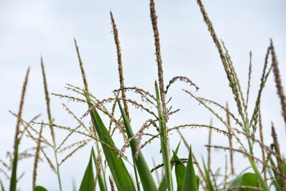 Corn (11)
