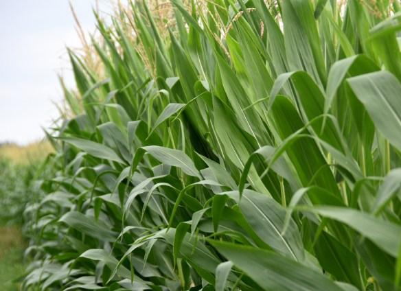 Corn (13)