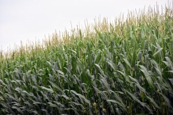 Corn (5)