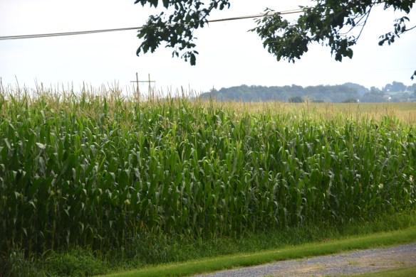 Corn (6)