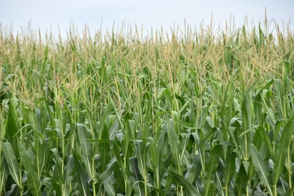 Corn (7)