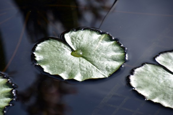 lily-pads-12