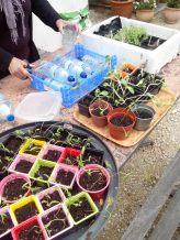 Semis jardin partagé