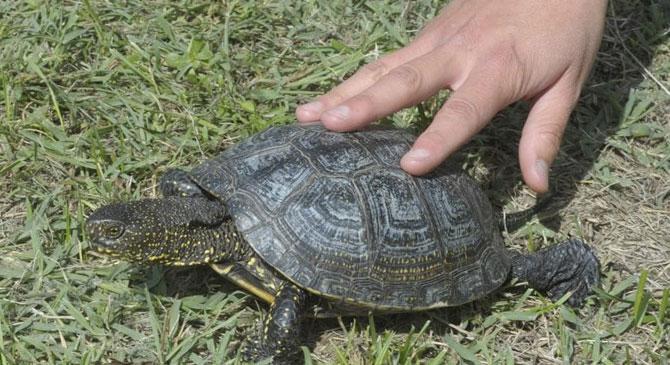 Megtelepedett a mocsári teknős a Pilisben