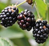 Ingyen szedhetjük az erdei gyümölcsöket a Pilisben