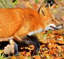 Gyérítik Leányvár rókaállományát