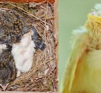 Ritkább, mint a fehér holló? Albínó örvös légykapók születtek a Pilisben